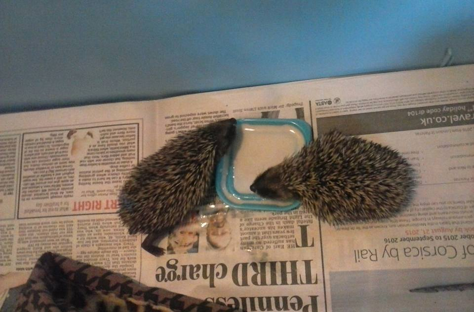 male (68g) and a female (60g)