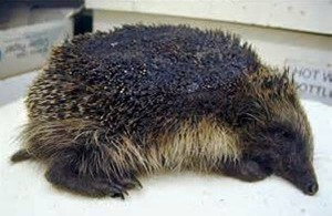 This hedgehog was burnt in a bonfire. It did not survive.